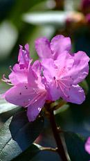 magenta_flower